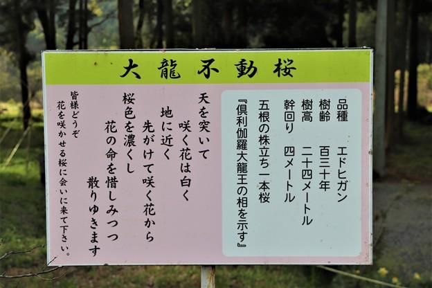 「大龍不動桜」解説板