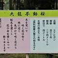 Photos: 「大龍不動桜」解説板