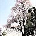 Photos: 樹高24mの大龍不動桜