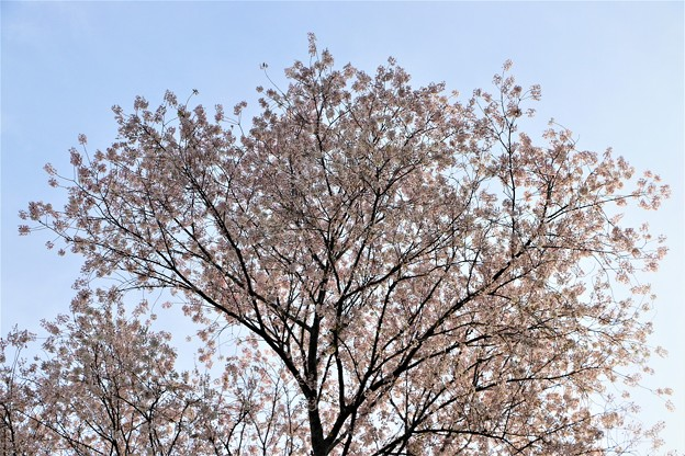 樹高24メートルの不動桜
