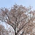 Photos: 樹高24メートルの不動桜
