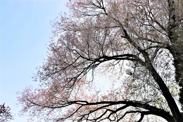 枝張りの不動桜