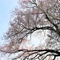 Photos: 枝張りの不動桜