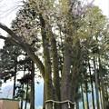 Photos: 五根の株立ち一本桜