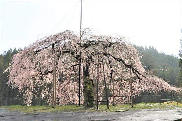姿・形゛美しい八つ橋ウバヒガン桜
