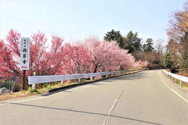 県道沿いの桜並木