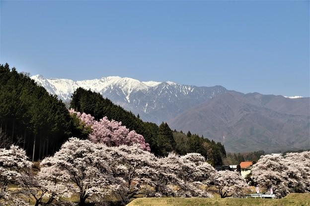 Photos: 中央アルプスと桜並木