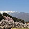 中央アルプスと桜並木