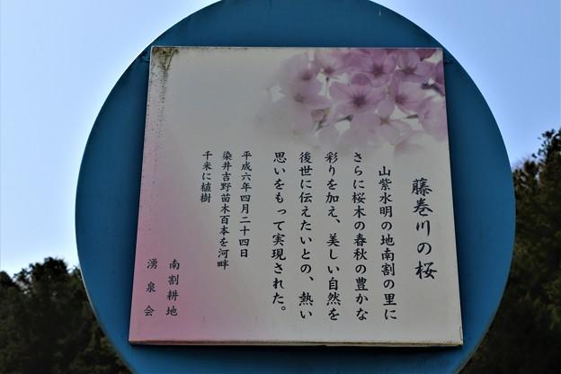 藤巻川の桜説明
