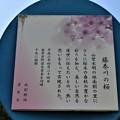 Photos: 藤巻川の桜説明