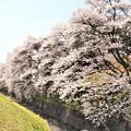 Photos: 藤巻川の桜並木
