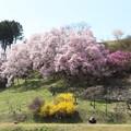 Photos: 山の斜面にも桜