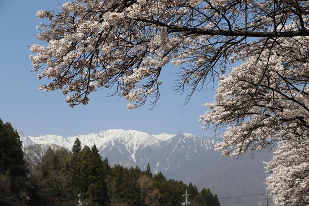 桜の奥に中央アルプス