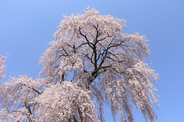 樹高・12.7mのしだれ桜