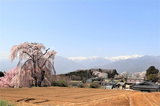 残雪の残る中央アルプスとしだれ一本桜