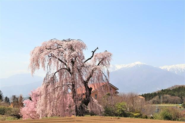 栗林のしだれ一本桜