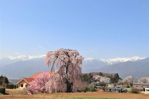 栗林の一本桜と中央アルプス