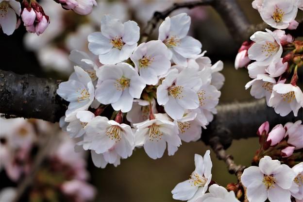 ソメイヨシノ桜