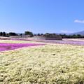 一面の芝桜