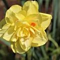 水仙の八重咲き
