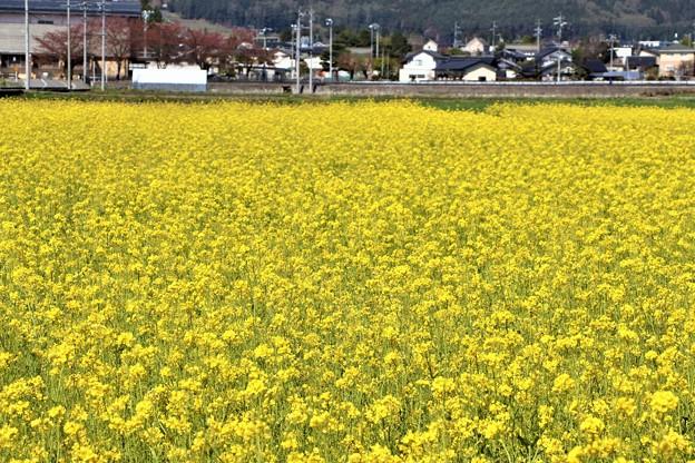 休耕田いっぱいに咲く菜の花