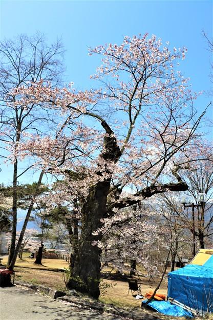 古木のソメイヨシノ桜