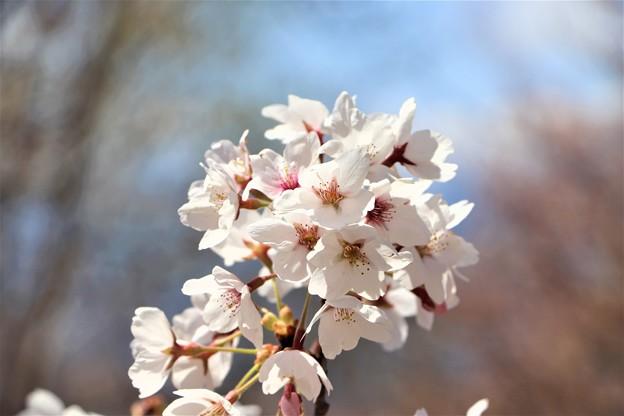桜・ソメイヨシノ