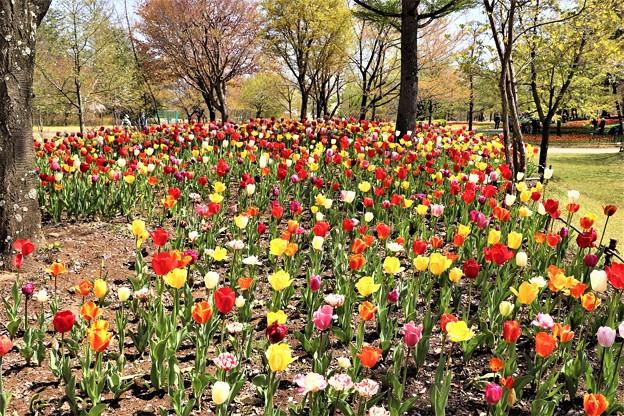 チューリップ花畑