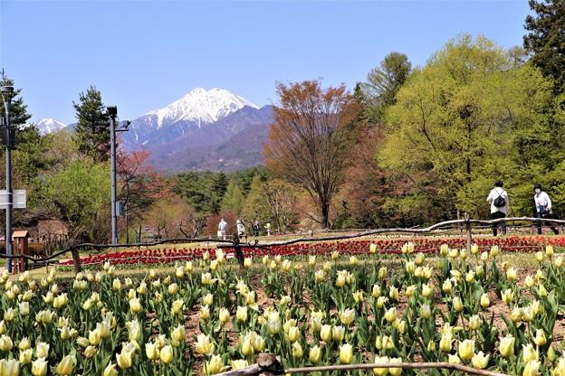 チューリップ花畑と常念岳