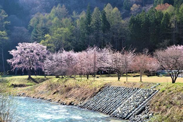 姫川と桜並木