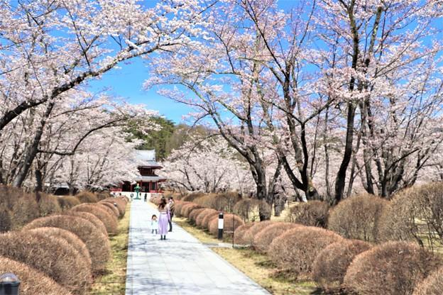 桜咲く参道