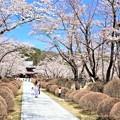 Photos: 桜咲く参道