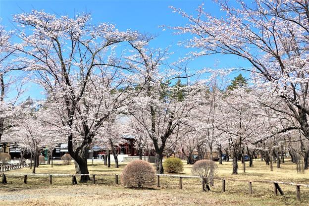 境内の桜の園