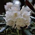 白花石楠花