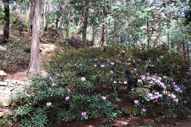 山の斜面に石楠花
