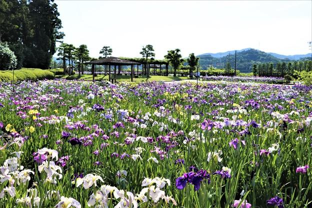 広い花しょうぶ園