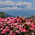 薔薇(春風)と中央アルプス