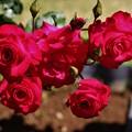 Photos: 薔薇(紅)