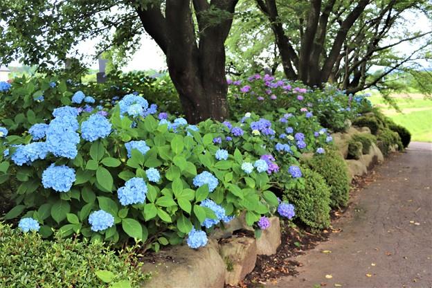 参道に咲く紫陽花