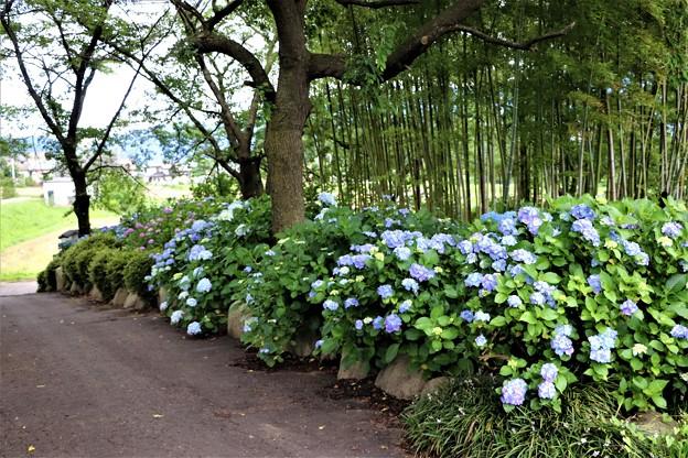 参道の竹林に咲く紫陽花