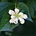 エゴノキの花