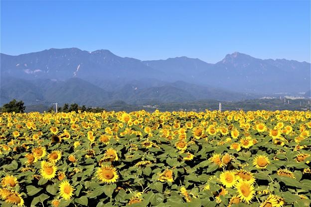 ひまわりと南アルプス「鳳凰三山と甲斐駒ヶ岳」