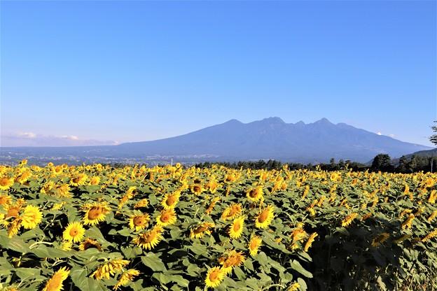 八ヶ岳とひまわり畑