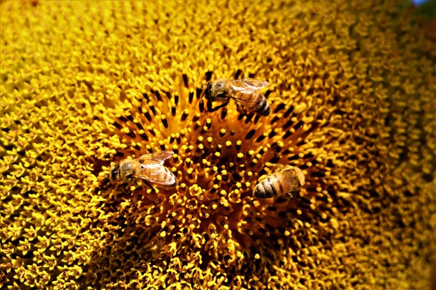 ミツバチの花粉集め