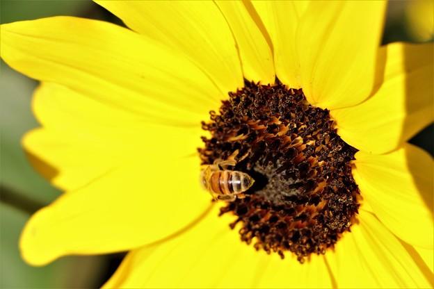 ひまわりにミツバチ