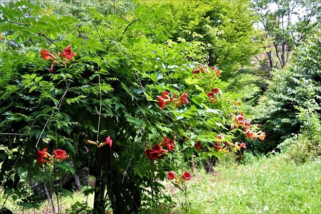 ノウゼンカズラ赤花