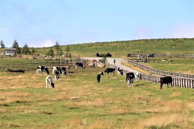 美ヶ原牧場は牛の放牧地