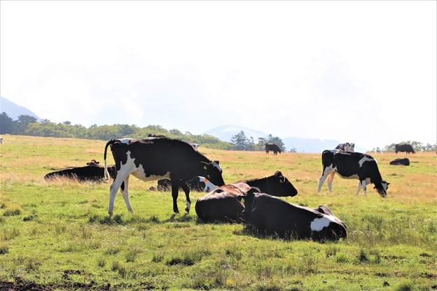 のんびりと放牧牛