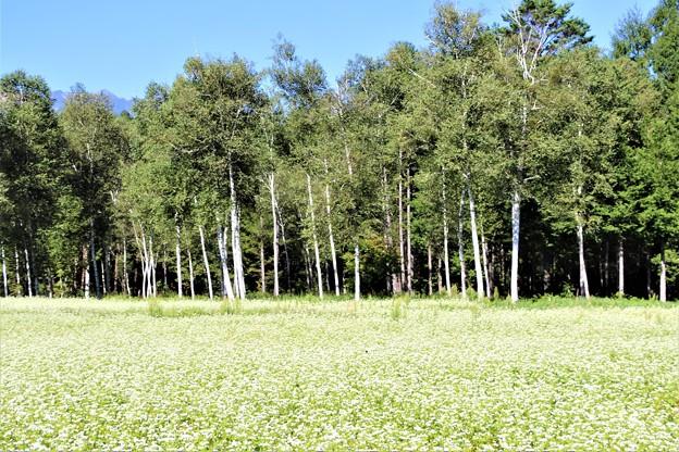 そば畑と白樺林