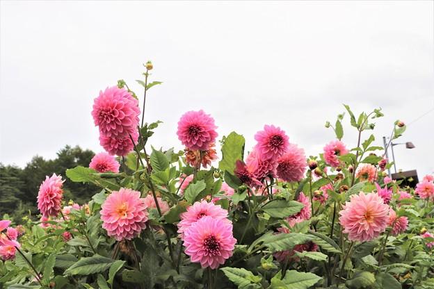 大輪咲きダリア「花神」
